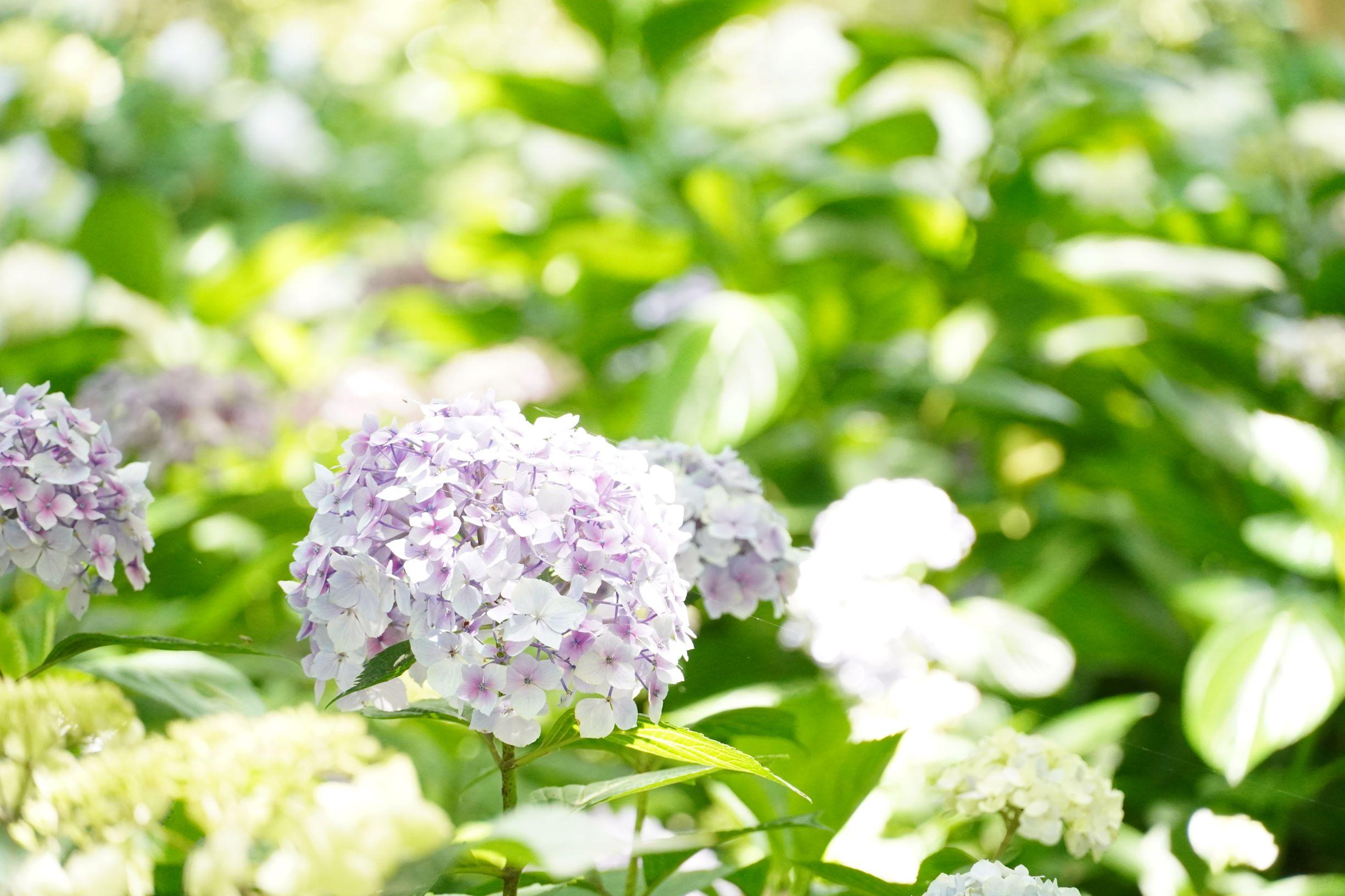 長居植物園の紫陽花